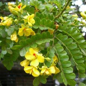 弓の材料'ペルナンブーコ'の花