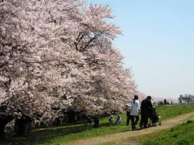 熊谷・荒川土手の桜