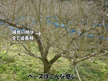 剪定 梅 の 木