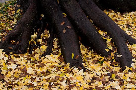 木の根元のイチョウ落ち葉