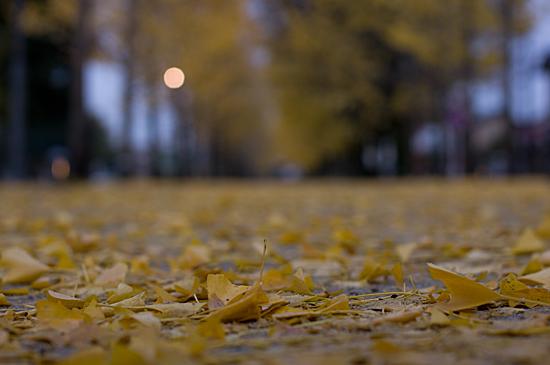 イチョウ落ち葉のローアングル