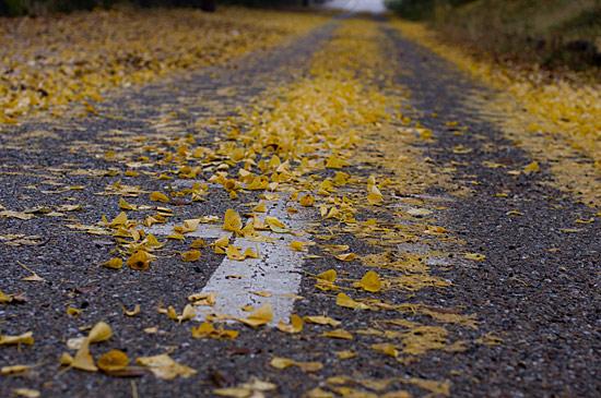 道路に積もるイチョウの落ち葉