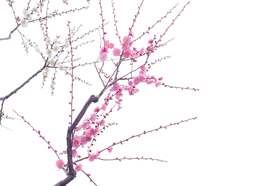 東山植物園梅-1