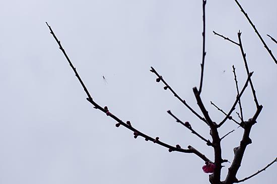 東山植物園梅-8