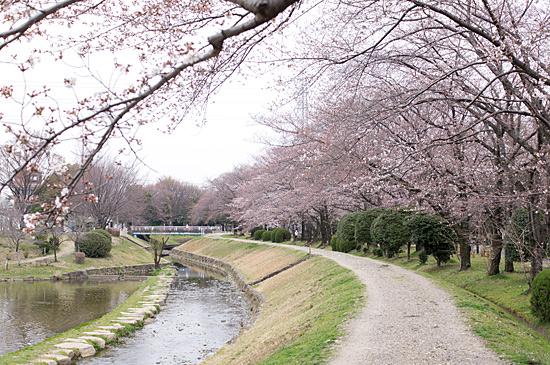 桜シーズン-8