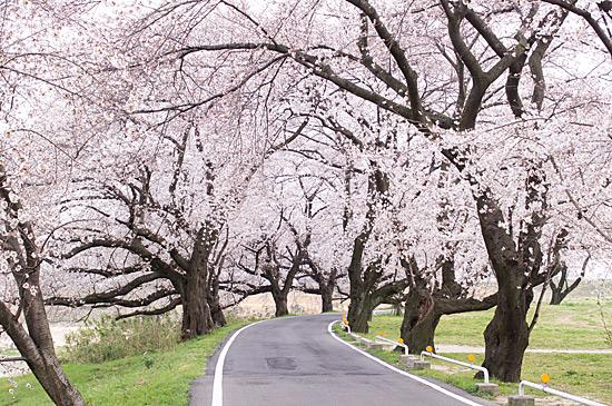 桜めぐり3-11