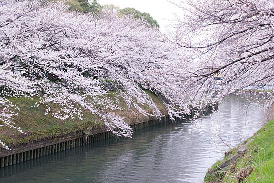 桜めぐり4-1