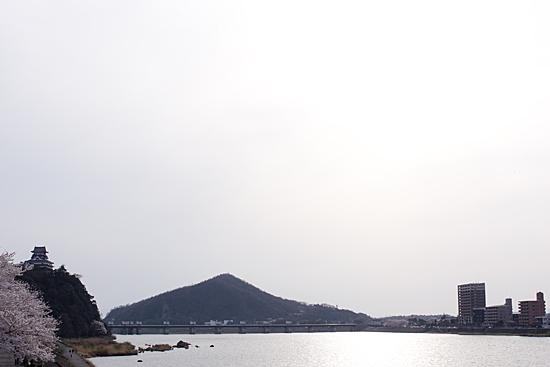 犬山桜-10