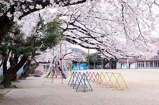 犬山桜-11