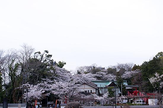 犬山桜-3
