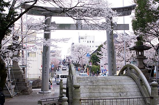 犬山桜-4