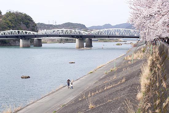 犬山桜-6