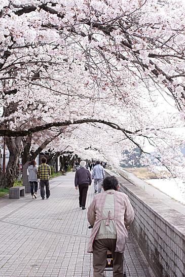 犬山桜-7