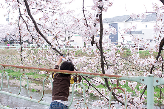 香流川桜-3