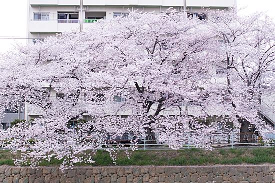 香流川桜-4