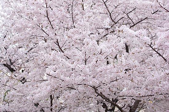 香流川桜-5