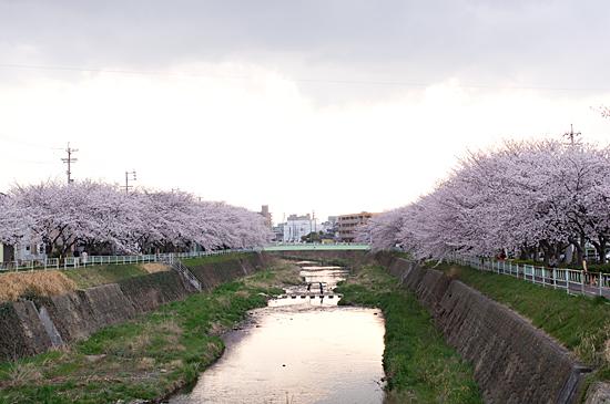香流川桜-8