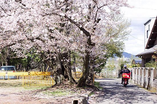 桜思い出2-1