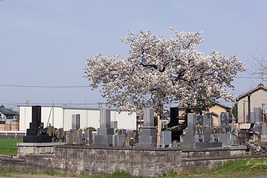 桜思い出2-4