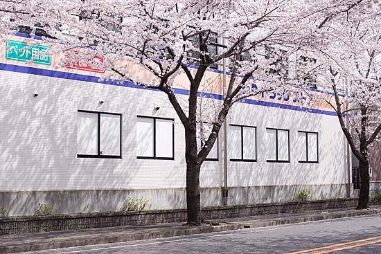 桜思い出2-7