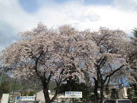 04sakura0418.jpg