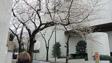 桜 アークヒルズ