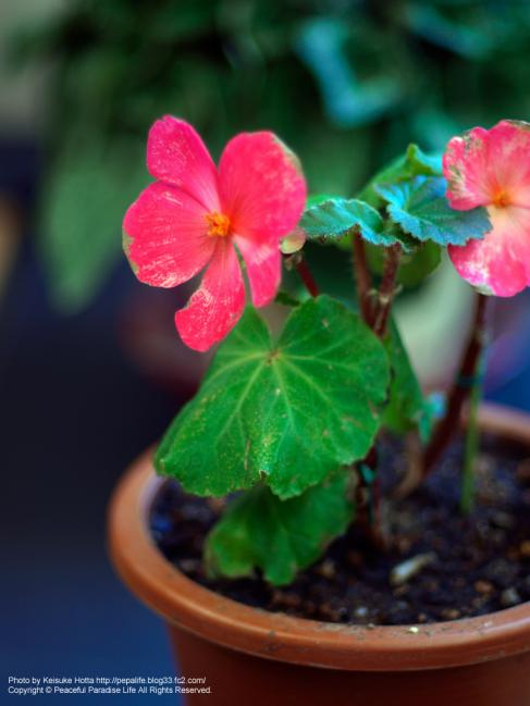 ピンクの花、もう枯れてきた