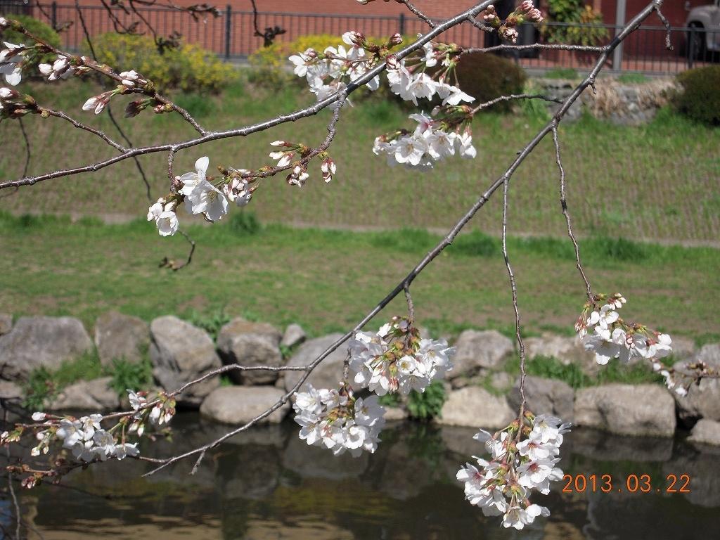 東京、桜開花