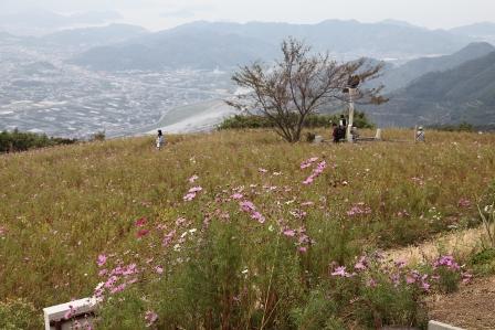鷲ヶ峰コスモス6
