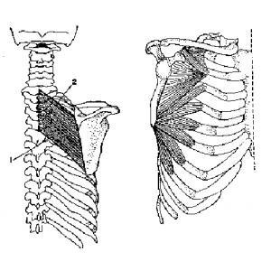 rhomboid&serratus