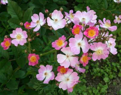 台木から咲いたバラ