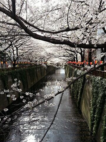 目黒川2013062