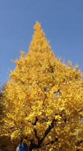 銀杏まつり2012大木