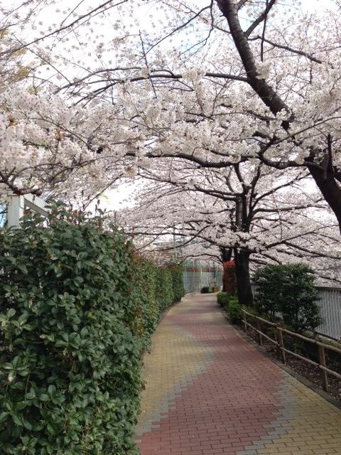 2013東中野の桜3