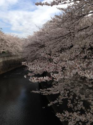 2013東中野の桜2