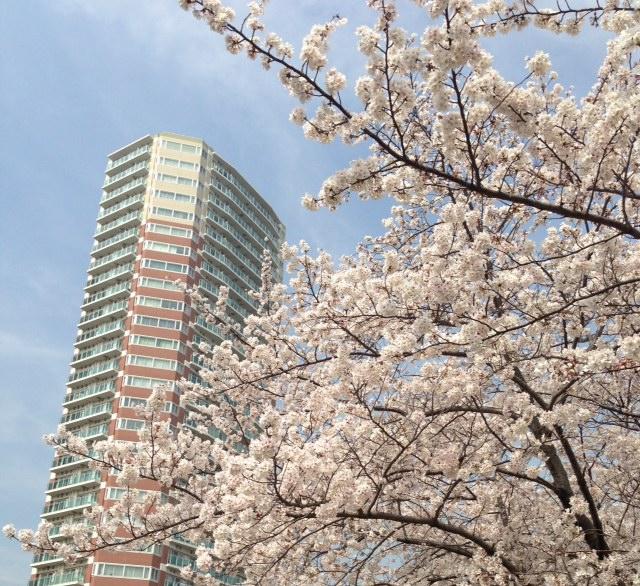 2013東中野の桜