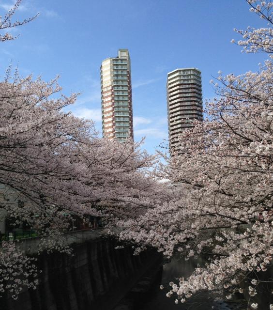 2013東中野の桜4