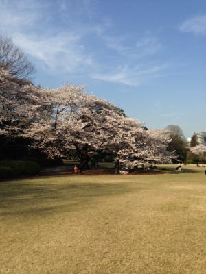 2013御苑の桜1