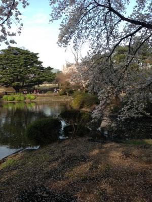 2013御苑の桜3