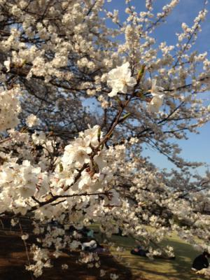 2013御苑の桜2