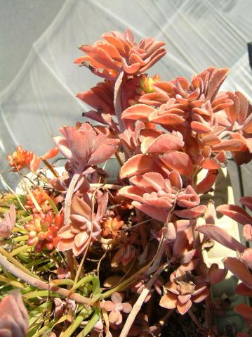 プレクトランサス・ネオチラスPlectranthus neochilus2007.02.02