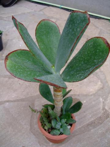 コチレドン属 紅覆輪(ベニフクリン)Cotyledon macrantha var. virescens 2011.08.25