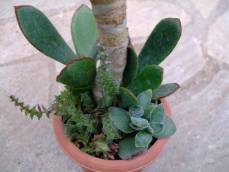 コチレドン属 紅覆輪(ベニフクリン)Cotyledon macrantha var. virescens 根元に子吹き中~ 2011.08.25