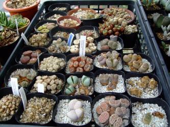 Argyroderma (アルギロデルマ) 、Lithops (リトープス)、Conophytum (コノフィツム)  夏越終了間近2011.08.20