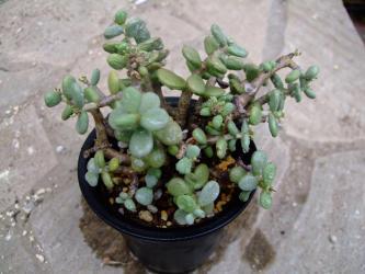 スベリヒユ科 ケラリア属 ピグマエア(Portulacaceae Ceraria pygmaea)花が咲いています!2011.08.22