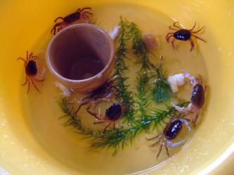 沢蟹~上段A棟~7匹元気です!水交換中に食パンあげました!2011.08.23