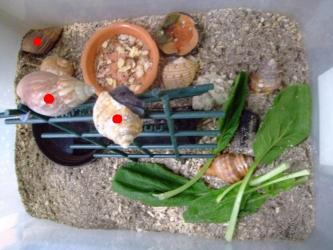 オカヤドカリの餌~小松菜、昆虫ゼリー、煮干、食パン、蝦干、クルミ細かく砕いたものプラスザリガニの餌粒状少々。