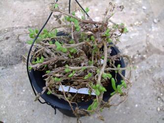 メセン科 フィロボルス属・テヌイフロルス(Aizoaceae Phyllobolus tenuiflorus) 2011.08.25