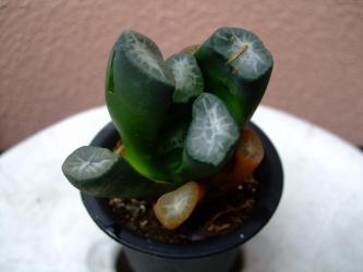 ハオルチア 万象(マンゾウ)(Haworthia maughanii.) 下葉がちょっと!痛んでいます。2011.08.27