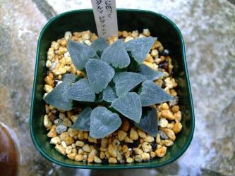 ハオルチア 薄紫 特白 ダルマ ピグマエア(Haworthia pygmaea)9cm鉢に植え替えました!